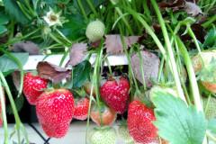 botrytis-fruit